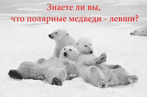 Знаете ли вы, что полярные белые медведи - левши?