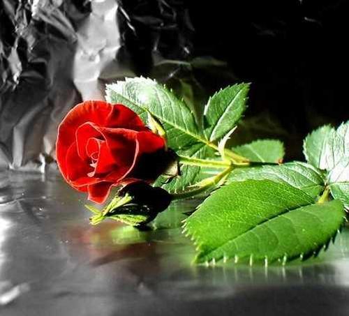 Открытка с алой розой