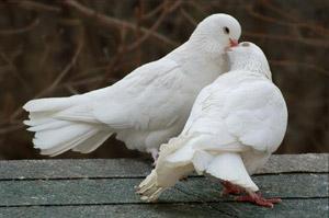 Международный день мира - 21 сентября. фото голуби
